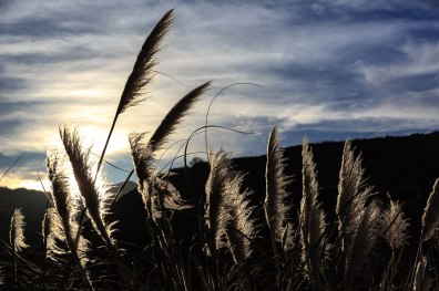 Pampas Grass at Dawn - Big Sur, CA