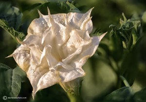 9  images were stacked in Photoshop to combine to this photo of the Datura