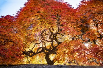 Giant Japanese Maple in brilliant color.