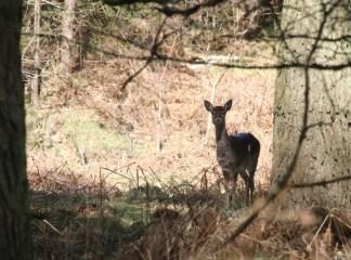 Fallow Deer1