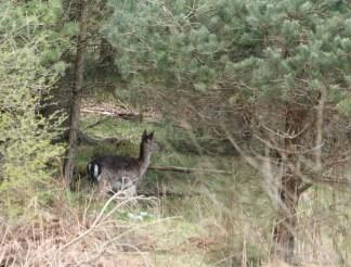 Fallow Deer4