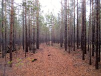 Forests, interior of Olkhon Island