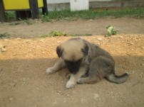 Puppy roaming on the grounds of the Ivolginsky Datsan