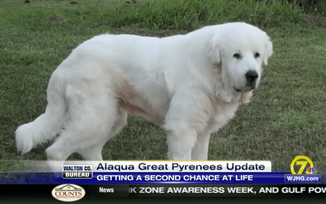 Great Pyrenees' Road To Recovery