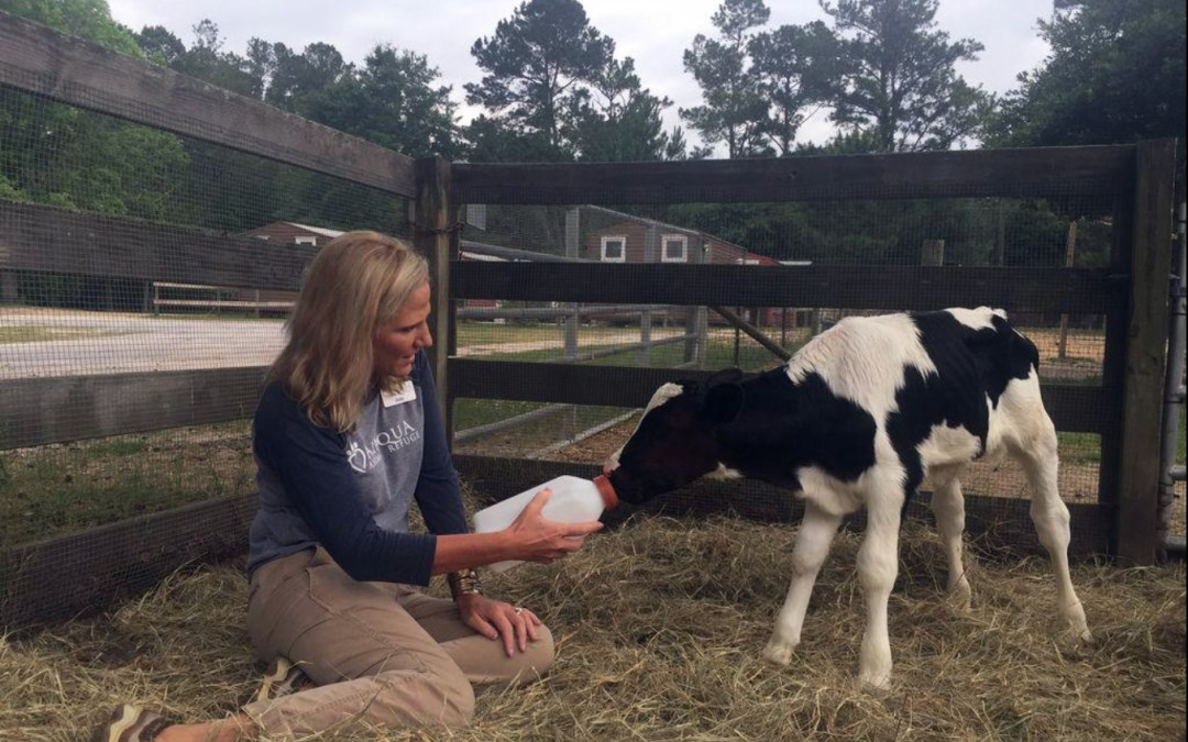 Local animal shelter saves calves from the dinner table