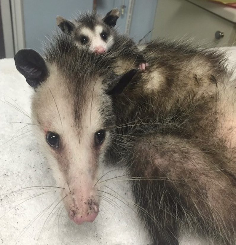 Opossum with baby