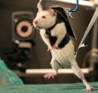 3787086-rats-paralyses-ils-remarchent-apres-un-reveil-de-leur-moelle-epiniere