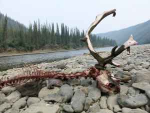A caribou killed by wolves on a gravel bar of the Fortymile River in the Yukon Territory, just east of the Alaska border. Image-Ned Rozell