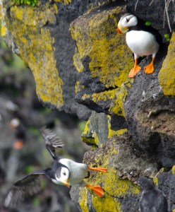 Horned puffin pair on St. Paul Island, taken during a summer camp for kids, helping them identify seabirds. (Photo by Veronica Padula/UAA)