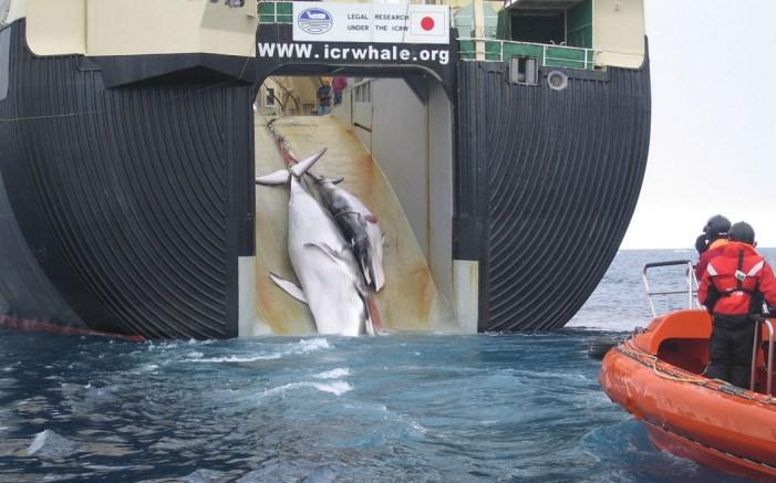 Australia, New Zealand Challenge Japan Over Whaling