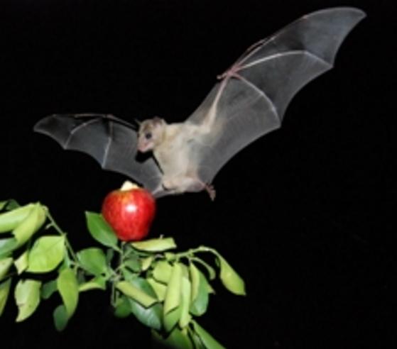 "How Bats Recognize Their Own ""Bat Signals"""