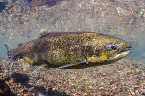 As Session Draws to a Close, Legislature Fails to Pass Salmon Habitat Protection Bill