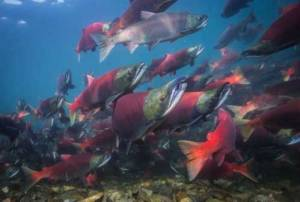Sockeye salmon swim near a spawning location. Photo by Jason Ching