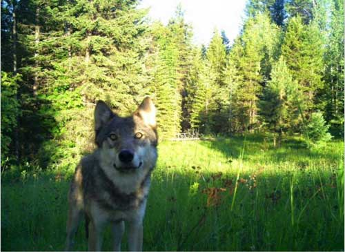 Court Agreement: Washington Will Give Public Notice Before Killing Wolves