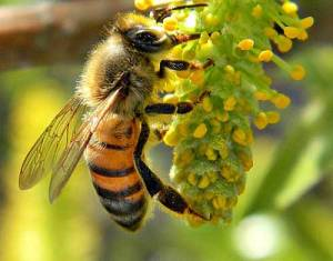 Honey Bee on Willow Catkin. Image-Bob Peterson