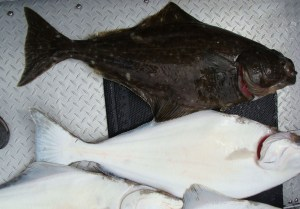 Halibut taken in Cook Inlet. Image-Public Domain
