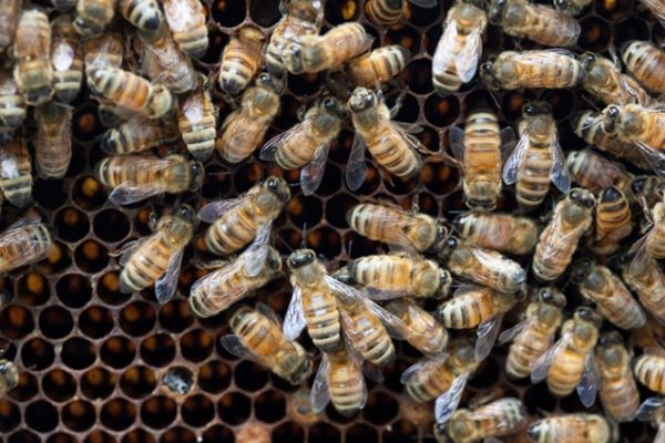 How Honey Bees Stay Cool