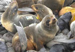 Northern Fur Seal with satellite tracking devices. Image-NOAA