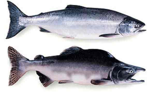 Federal Government Declares Fishery Disaster for Low Pink Salmon Harvest in Gulf of Alaska