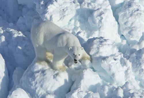Increased Sea Ice Drift Puts Polar Bears on Faster Moving Treadmill
