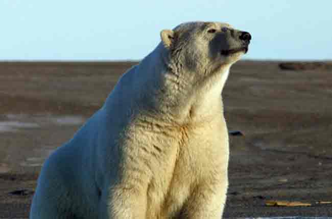 U.S. Fish and Wildlife Service Publishes New Regulations for Incidental Take of Polar Bears and Pacific Walruses in the North Slope of Alaska