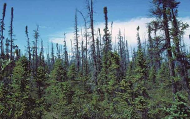 Wildfires Are Changing Forest Communities in Interior Alaska