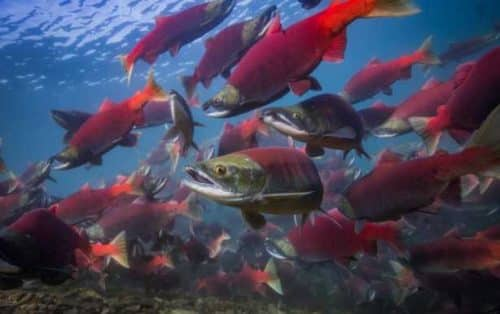 2020 Bristol Bay Harvest Forecast Set to 34.56M Salmon