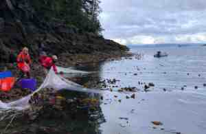Beach seining to collect live juvenile Pacific cod.