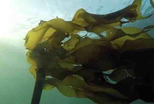 Looking to Start a Seaweed Farm in Alaska?