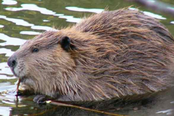 Beaver invasion on the Baldwin Peninsula