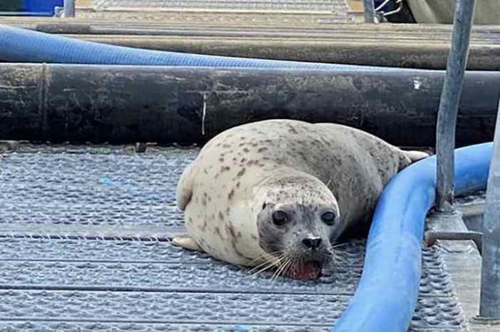 Teamwork Saves Harbor Seal with Teeth Stuck in Grate
