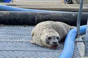 Personnel at the hatchery in Valdez discovered a harbor seal with its teeth stuck in metal grating. Credit: Rob Unger