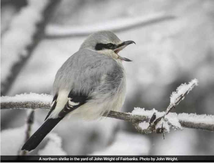 The Northern Shrike: Songbird Like No Other
