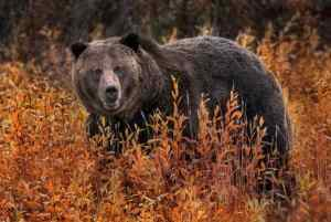 A grizzly bear saunters among the fall foliage in Yellowstone National Park in Wyoming. (Photo: Ania Tuzel Photography/Flickr/cc)