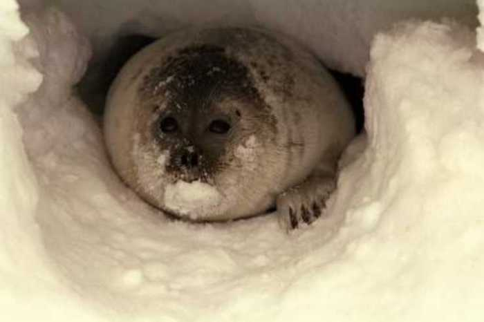 NOAA Fisheries to Hold Public Hearings on Proposed Critical Habitat for Ringed and Bearded Seals