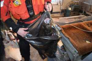 A boarding team member from Coast Guard Cutter Chandeleur holds up an allegedly illegally-retained halibut aboard vessel Currency about 12 miles west of Cape Barnabas. (U.S. Coast Guard photo courtesy of Cutter Chandeleur)