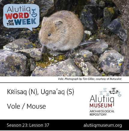 Vole/Mouse-Alutiiq Word of the Week-March 7th