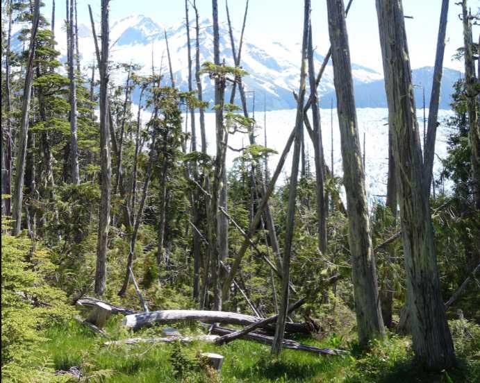 The majesty and mystery of Alaska yellow cedar