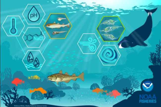 Habitat includes environmental conditions like water temperatures and salinity and this affects the distribution of fish, crabs, marine mammals and their prey. Credit: NOAA Fisheries.