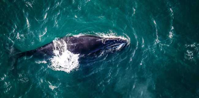 An aerial view of the North Pacific right whale. Image-NOAA