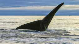 North Pacific Right Whale Research in Alaska