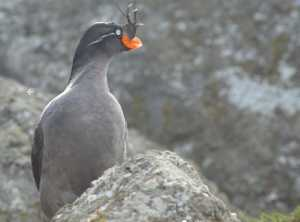 A Crested Auklet, a seabird that breeds on the islands of western Alaska including the Aleutians. Image-Hector Douglas