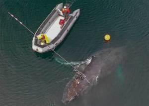 NOAA's John Moran cuts line entangling a whale. Andy Dietrick/ NOAA MMHSRP Permit #18786-03