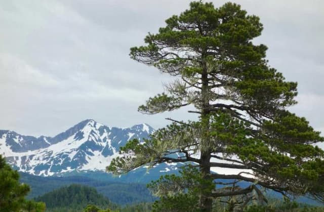 """A """"Shore Pine"""" version of Lodgepole Pine near the town of Yakutat. Image-Ned Rozell"""