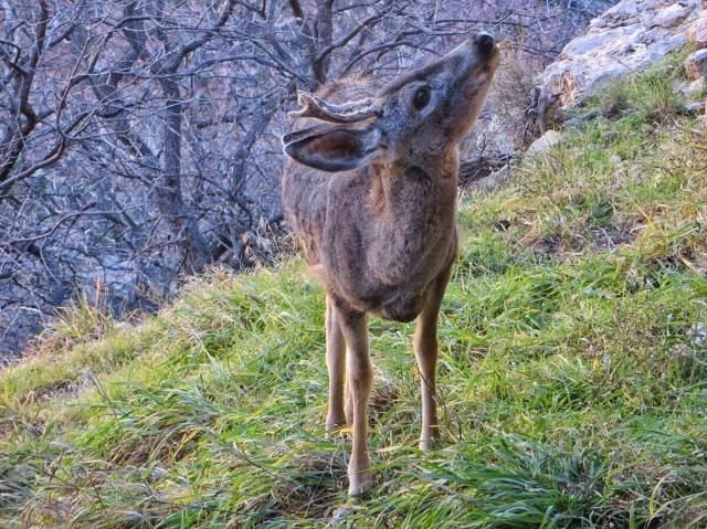 Bambi, Grand Canyon