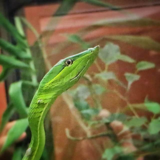 Käärme, vihreä, El Castillo.