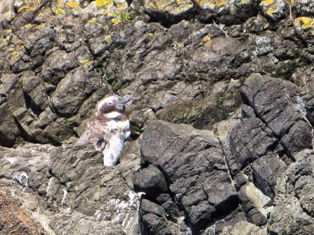 Patagonianpingviinin poikaset ovat kuoriutuneet joulukuun alussa.