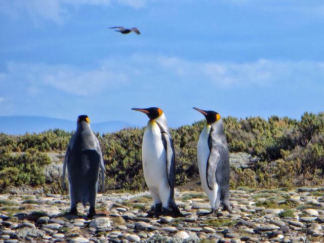 Ärsyttääkö pingviinejä muut linnut, jotka leuhkivat lentotaidoillaan?