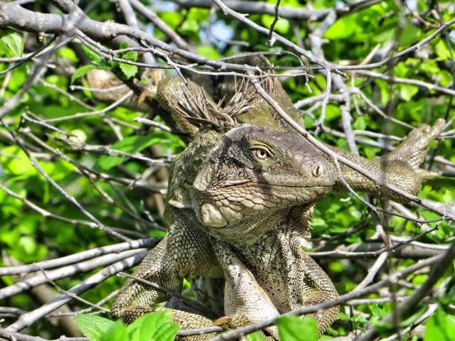 Isommat iguaanit viihtyivät puissa ja kaktuksissa. Pihalla sai olla tarkkana, ettei saanut liskonkakkaa päähän.