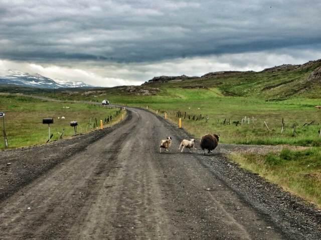 Välillä ajoimme kilpaa lammasperheiden kanssa.